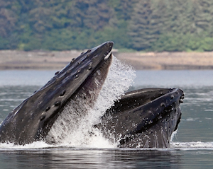 Icy Strait Exclusive Whales and WIldlife Experience
